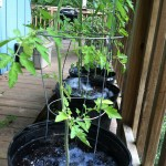 Bubbly tomato plants