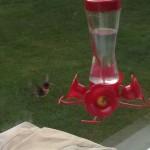 Hummingbird Success