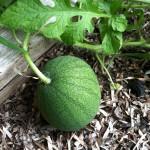 Garden update: August 11